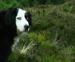 Norwegian Mountain Dog by Driller