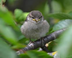 Baby sparrow by Shadow-Amethyst13