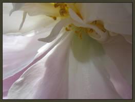 veil of softness by willowleaf
