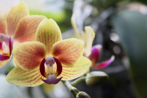 Orchid Yellow by LiChiba
