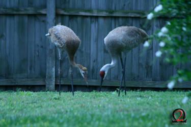 Sandhill Cranes 2 by wolfetrap
