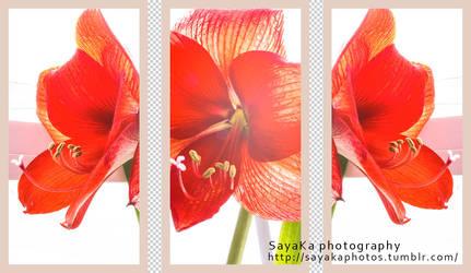 amaryllis by ta1setsu