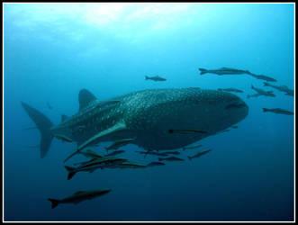 whale shark 2 by gromble3