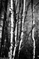 Paper Birch Trees by BlackDogBarnyard