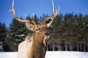 Young Elk by BlackDogBarnyard