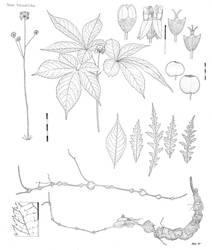 Panax bipinnatifidus by Typothorax