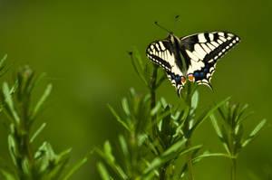 Butterfly by ervin21