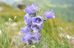 purple flower by nikoniarz