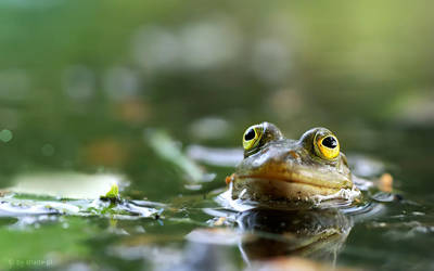 hypno frog by shade-pl