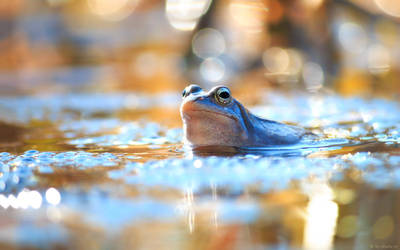 Blue frog by shade-pl