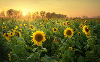 Sunflowers field by shade-pl