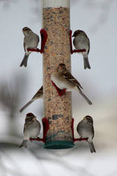 Band of Sparrows - Feb 2015 by Crystal-Marine