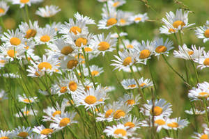 Spring Breeze Daisies - 2016 by Crystal-Marine