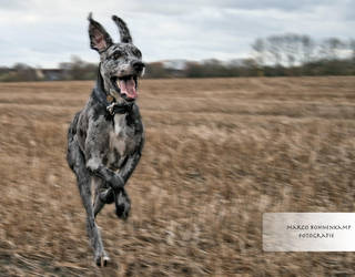 Dog is running 3 by Clericer70
