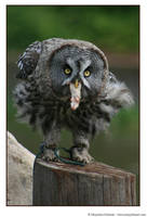 Owl by MarjoleinART-Photos