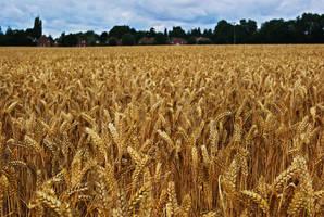 Wheat by wafitz