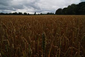 Wheat (close up) by wafitz
