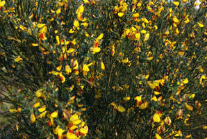 Red and Yellow Broom Flowers by wafitz