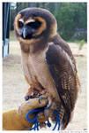 250 - Owl by absurdus