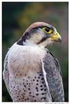 251 - Lanner Falcon by absurdus