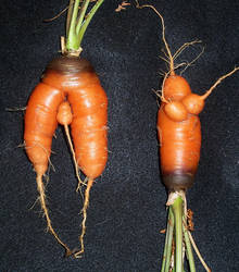 boy carrot and girl carrot by hibbary