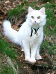 White cat 2 by NaviStock
