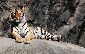 Tiger VI by Homunculi92