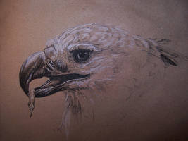 Harpy eagle by Concini