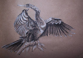 Darter by Concini