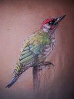Green woodpecker by Concini