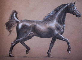 Arabian horse study by Concini