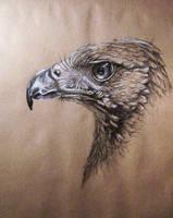 Harris hawk by Concini