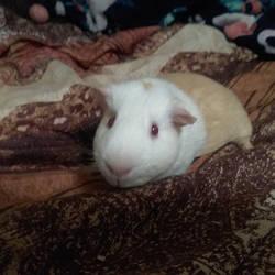 My guinea pig Haru by xX-ArtisticDragon-Xx