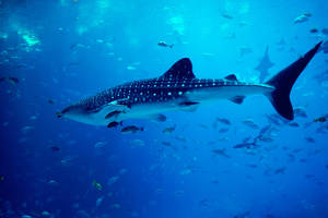Whale Shark by Nam-kha