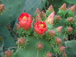 Cactus Blossom by callmenotwo
