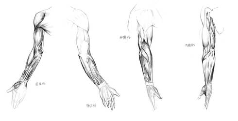 Anatomy Study - arm muscules by Call0ps