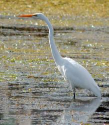 White Egret by lenslady