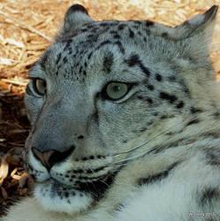 Snow Leopard Portrait by lenslady