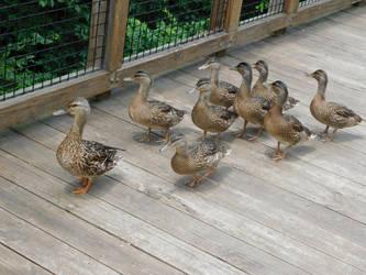 Ducks! by Jyl22075