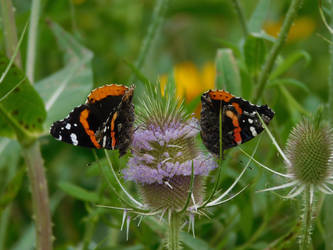 Butterfly Pair by Jyl22075