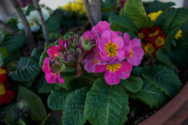 Pink Primula Flowers by Freeness2