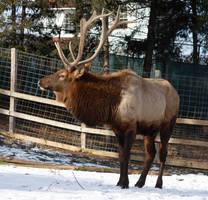 Elk 3 by ravenofthenight