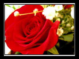red rose by pheona
