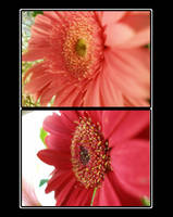 Red Pink Daisy by pheona