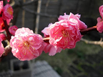 Pink Plum Flowers close up by Lissou-photography