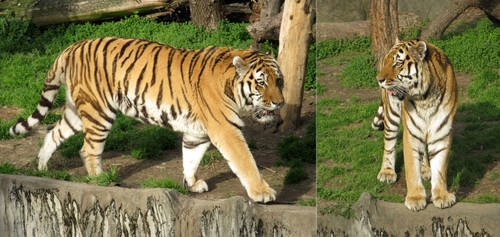 Tiger by Lissou-photography
