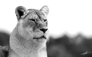 Lioness Widescreen Wallpaper by Cameron-Jung