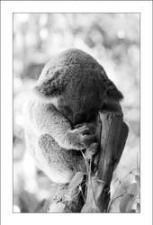 Koala by Cameron-Jung