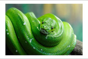 Green Tree Python by Cameron-Jung