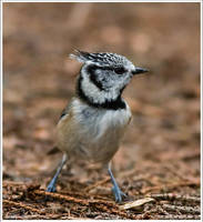 The Crested Tit 3 by one-with-dark